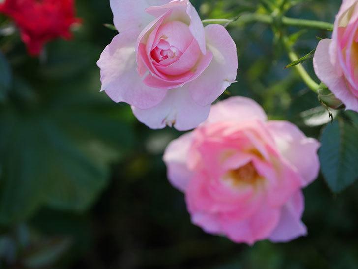 チュチュオプティマ(Tutu Optima)の秋花が咲いた。ミニバラ。2020年-009.jpg