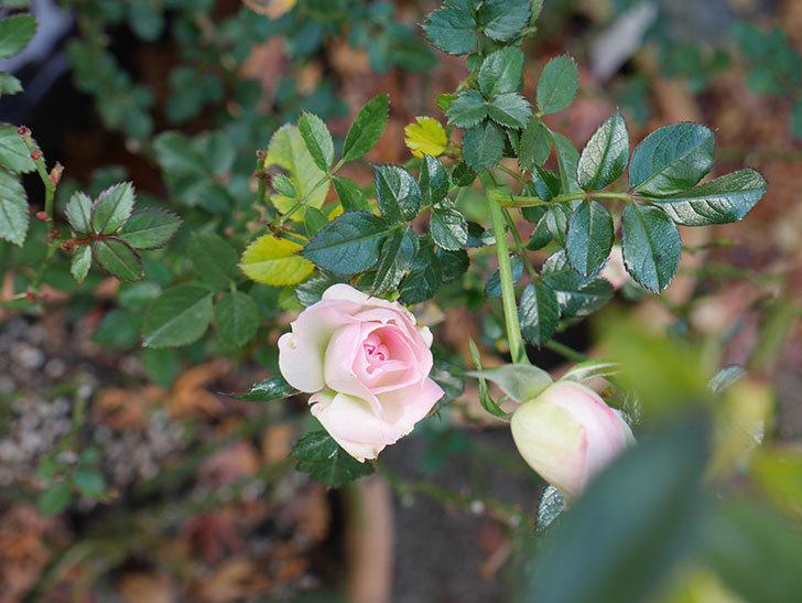 チュチュオプティマ(Tutu Optima)の花がまだ咲いている。ミニバラ。2021年1月-002.jpg