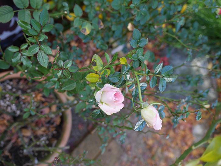 チュチュオプティマ(Tutu Optima)の花がまだ咲いている。ミニバラ。2021年1月-004.jpg