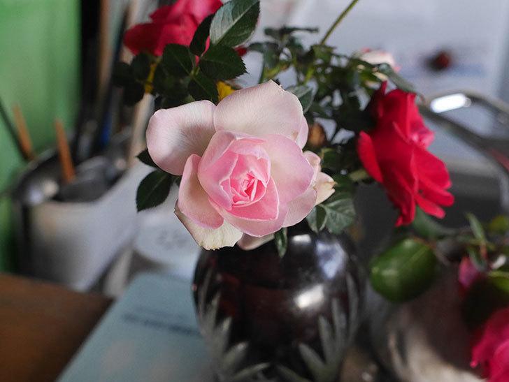 チュチュオプティマ(Tutu Optima)の花がまだ咲いている。ミニバラ。2021年1月-009.jpg