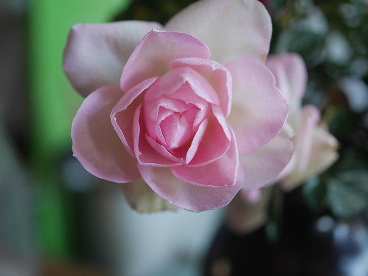 チュチュオプティマ(Tutu Optima)の花がまだ咲いている。ミニバラ。2021年1月-011.jpg