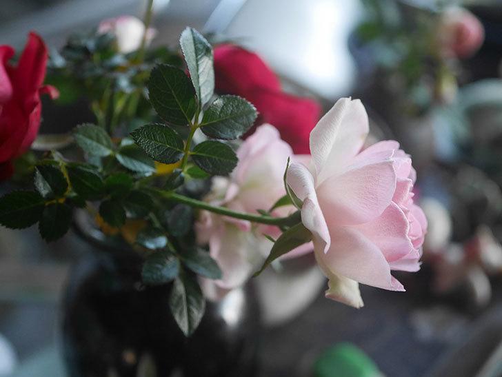 チュチュオプティマ(Tutu Optima)の花がまだ咲いている。ミニバラ。2021年1月-012.jpg