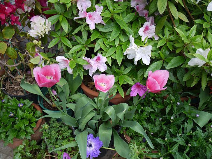 チューリップ-ありさ-の花が咲いた。2017年-4.jpg
