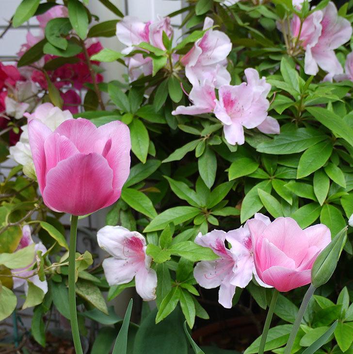 チューリップ-ありさ-の花が咲いた。2017年-5.jpg