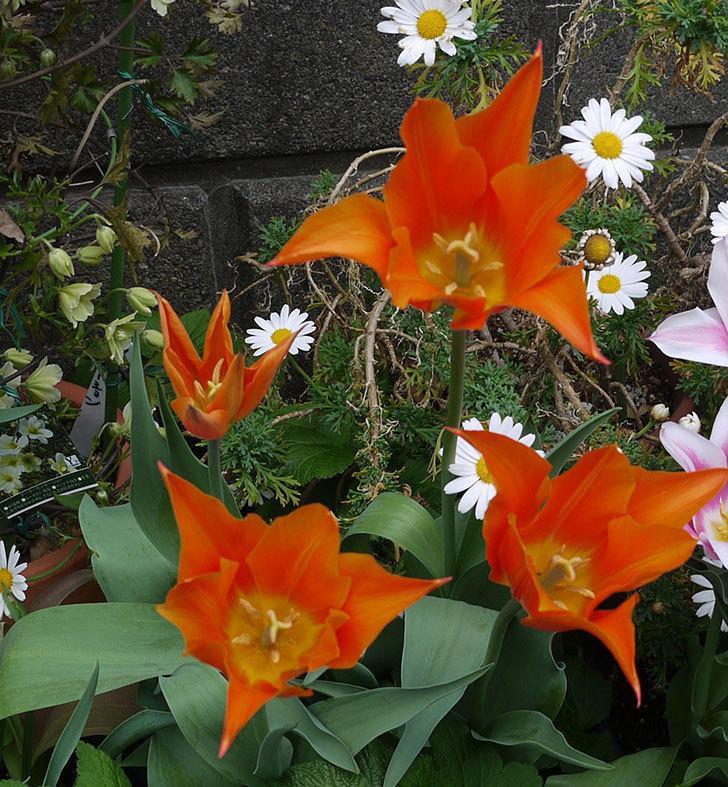 チューリップ-ありさ-の花が咲いた。2017年-7.jpg