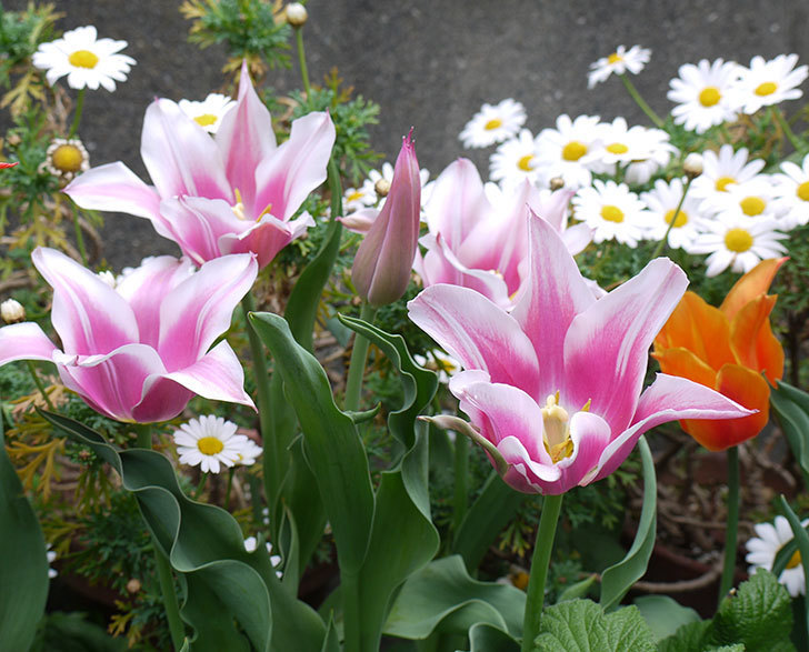 チューリップ-ありさ-の花が咲いた。2017年-9.jpg