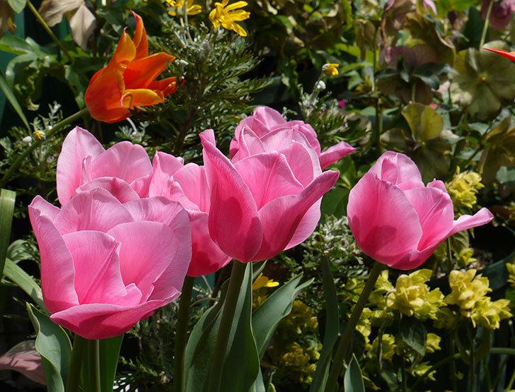 チューリップ-ありさ-の花が綺麗に咲いた。2016年-2.jpg