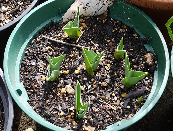 チューリップ-ありさ-の芽が出てきた。2016年-1.jpg
