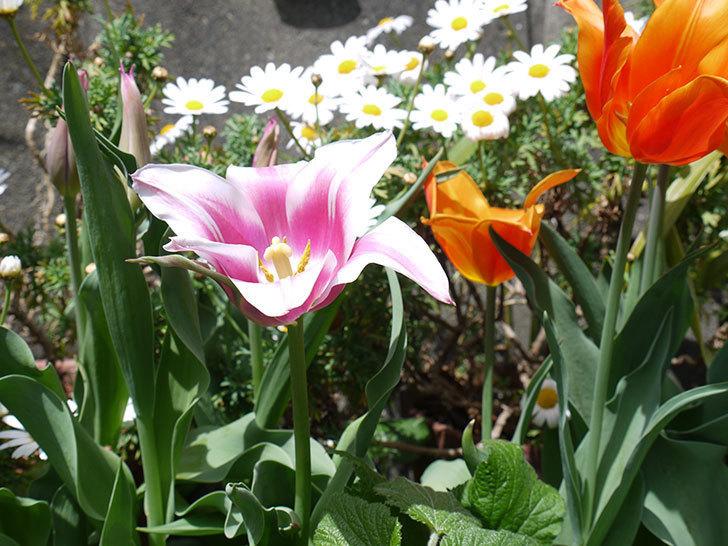 チューリップ-バラードが咲いた。2017年-2.jpg