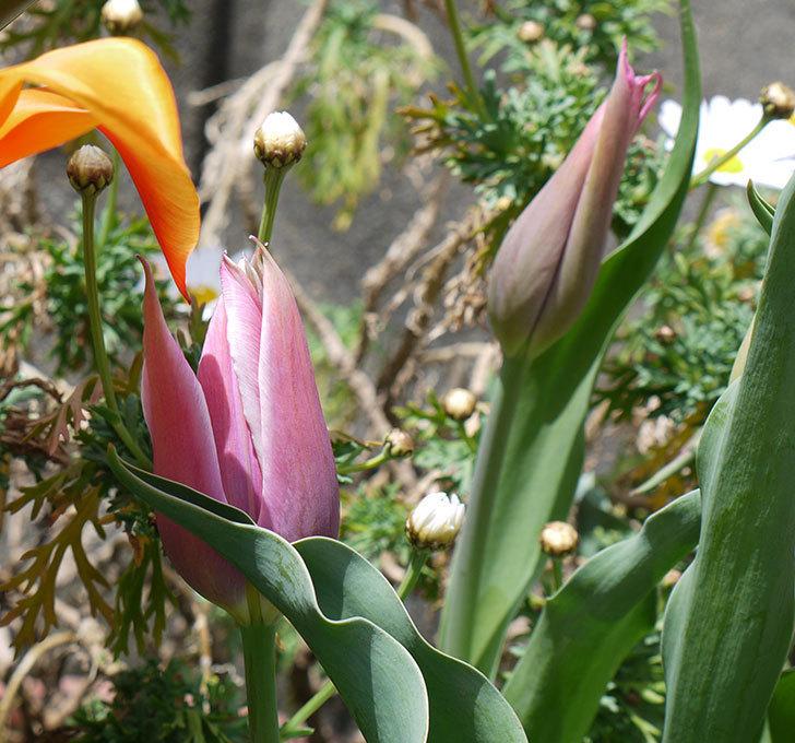チューリップ-バラードが咲いた。2017年-3.jpg
