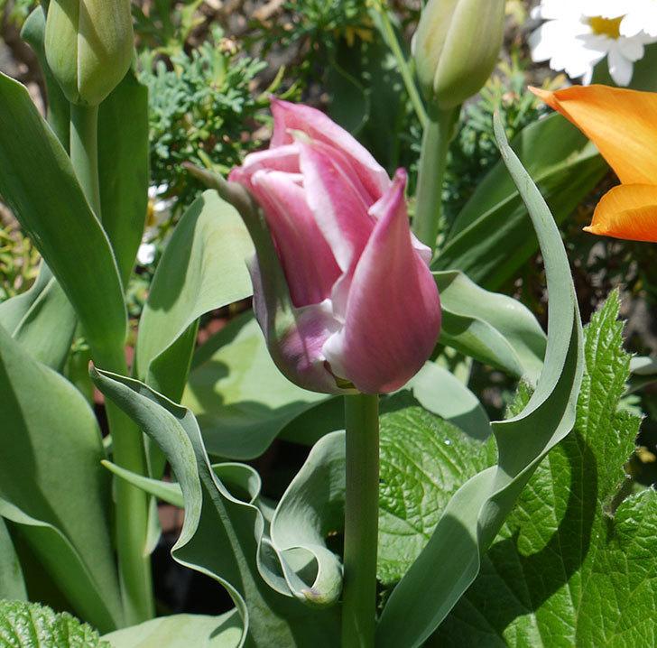 チューリップ-バラードが咲いた。2017年-6.jpg