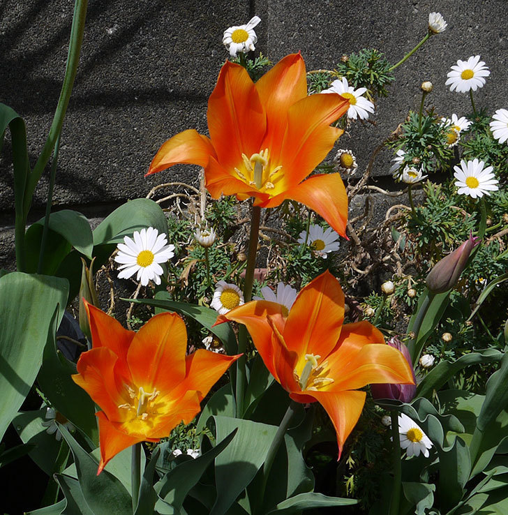 チューリップ-バラードが咲いた。2017年-7.jpg