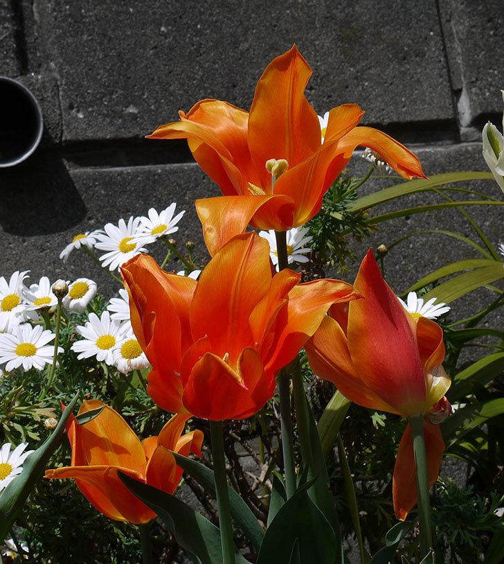 チューリップ-バラードが咲いた。2017年-9.jpg