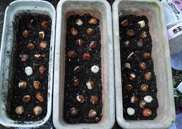 チューリップ-八重咲き5色混合-50個入りの球根をケイヨーデイツーで買って来た。2015年-2.jpg