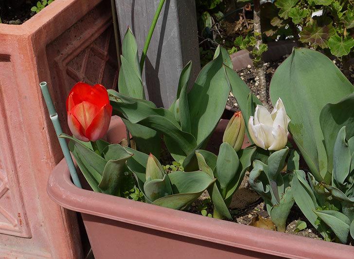 チューリップが咲いた1.jpg