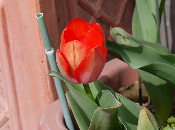 チューリップが咲いた2.jpg