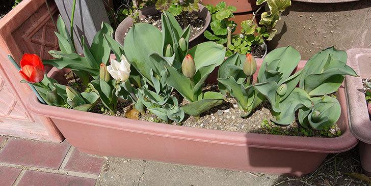 チューリップが咲いた4.jpg