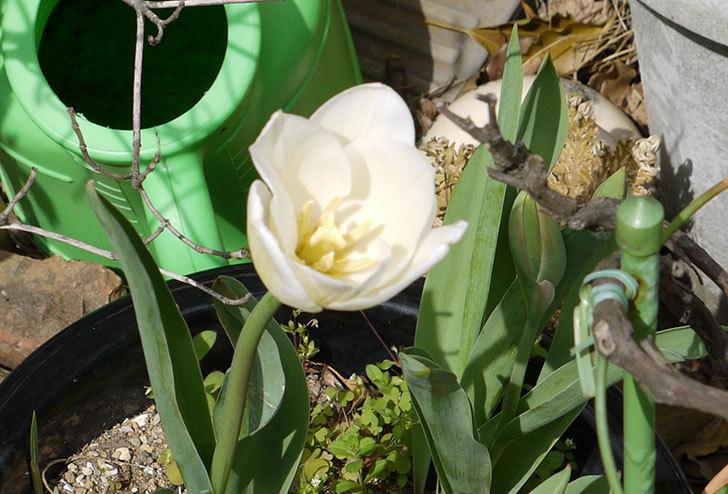 チューリップが咲いた6.jpg