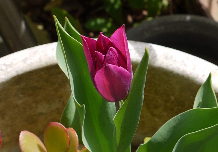 チューリップが咲いた8.jpg