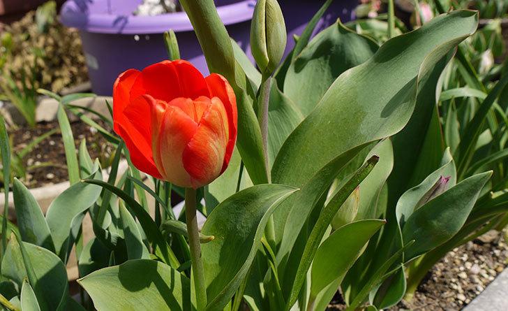 チューリップが咲いた。2015年-1.jpg