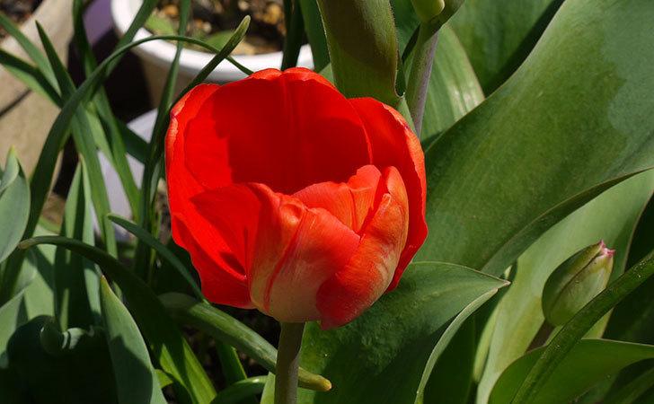 チューリップが咲いた。2015年-2.jpg