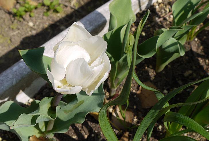 チューリップが咲いた。2015年-3.jpg