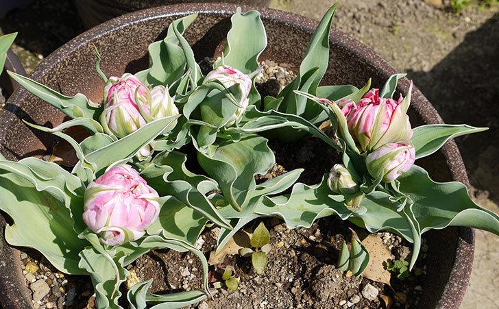 チューリップが咲いた。2015年-6.jpg