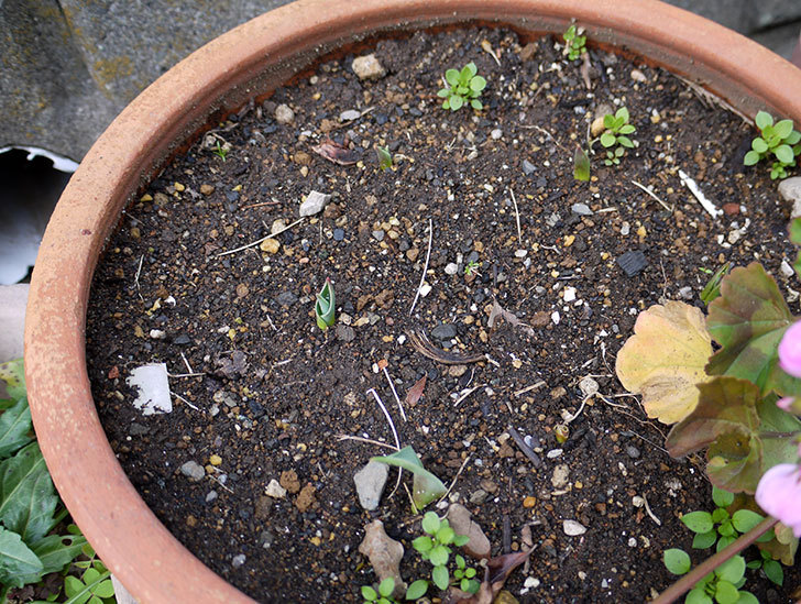 チューリップでの芽が出てきた4.jpg