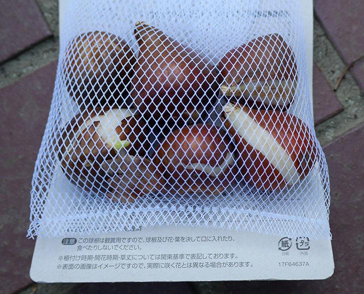チューリップの球根をケイヨーデーツーで買って来た。2017年-5.jpg