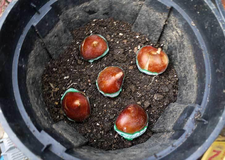 チューリップの球根をスリット鉢に植えた。2015年-2.jpg