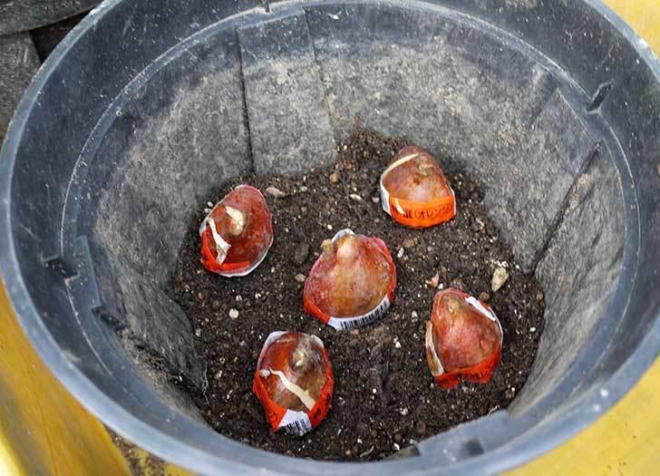 チューリップの球根をスリット鉢に植えた。2015年-4.jpg