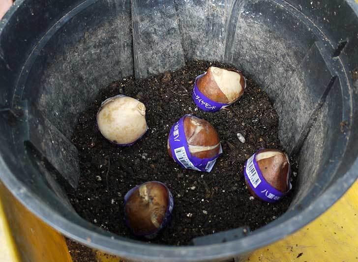チューリップの球根をスリット鉢に植えた。2015年-5.jpg