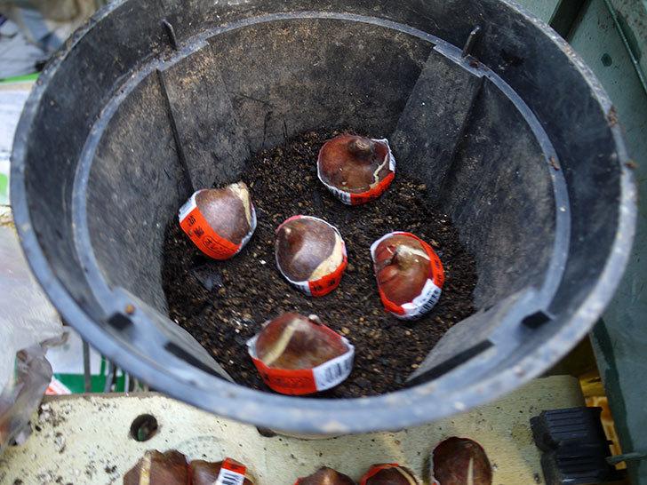 チューリップの球根をスリット鉢に植えた。2016年-2.jpg