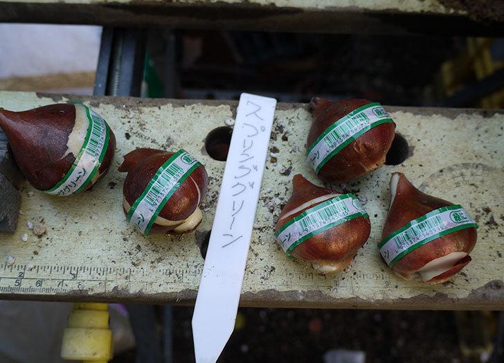 チューリップの球根をスリット鉢に植えた。2016年-4.jpg
