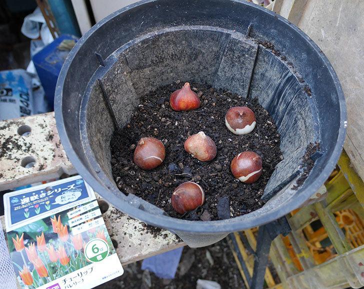チューリップの球根をスリット鉢に植えた。2017年-1.jpg