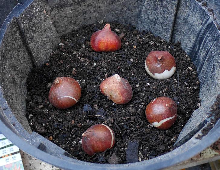 チューリップの球根をスリット鉢に植えた。2017年-3.jpg