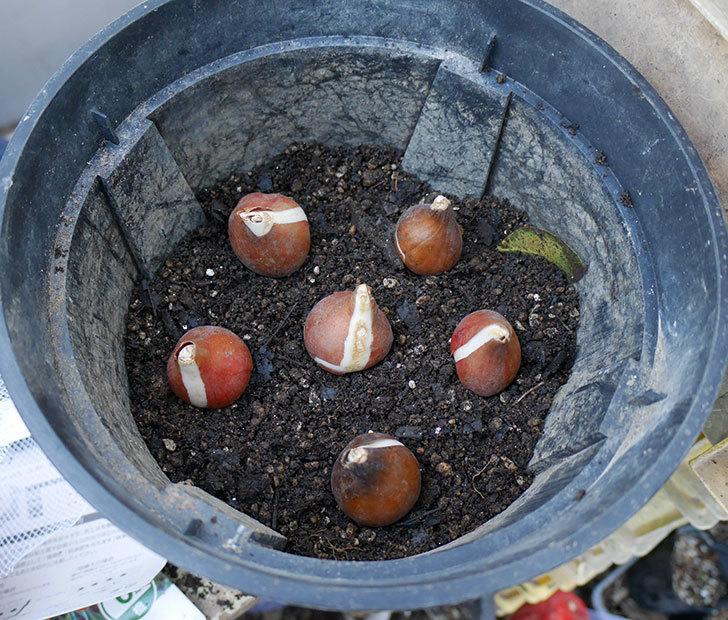 チューリップの球根をスリット鉢に植えた。2017年-5.jpg