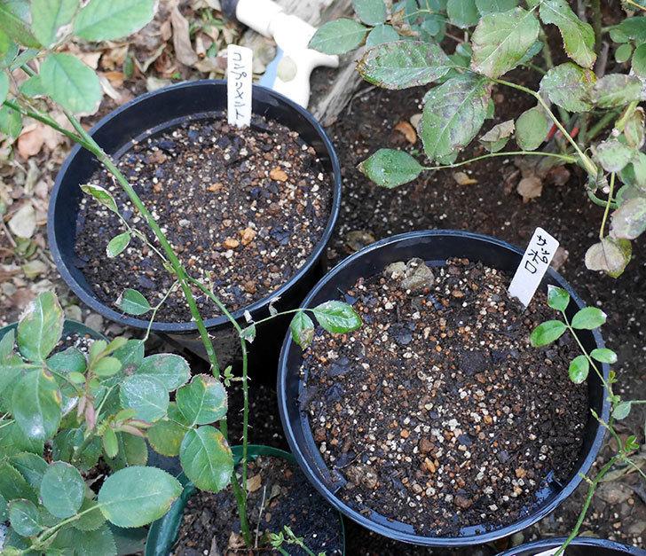チューリップの球根をスリット鉢に植えた。2017年-8.jpg