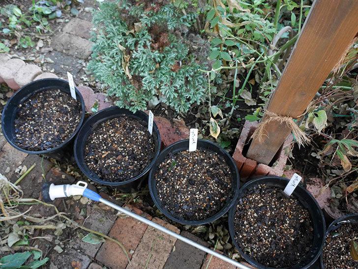 チューリップの球根をスリット鉢に植えた。2017年-9.jpg