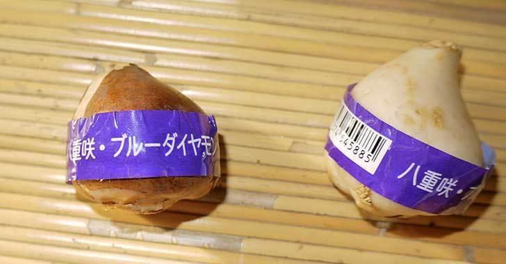 チューリップの球根をホームズで買って来た。2015年-6.jpg