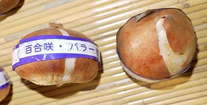 チューリップの球根をホームズで買って来た。2015年-9.jpg