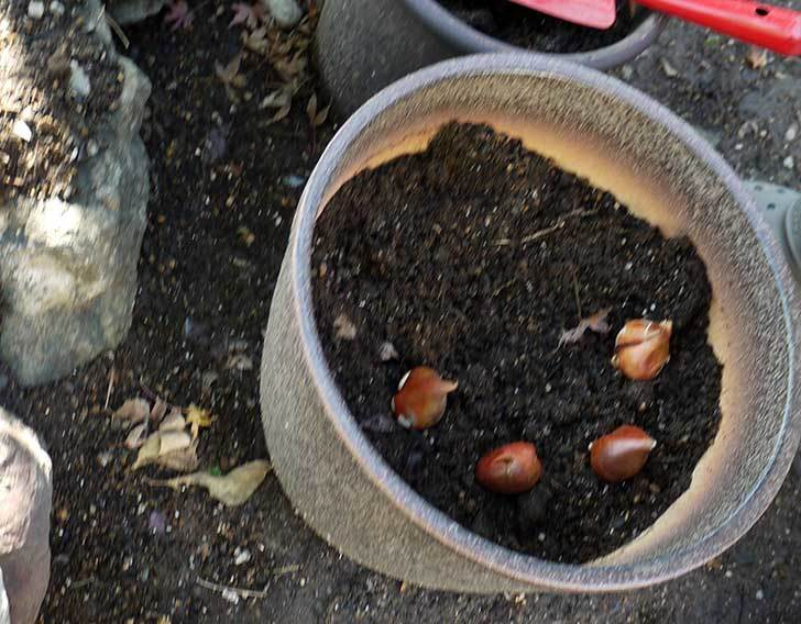 チューリップの球根を植えた3.jpg