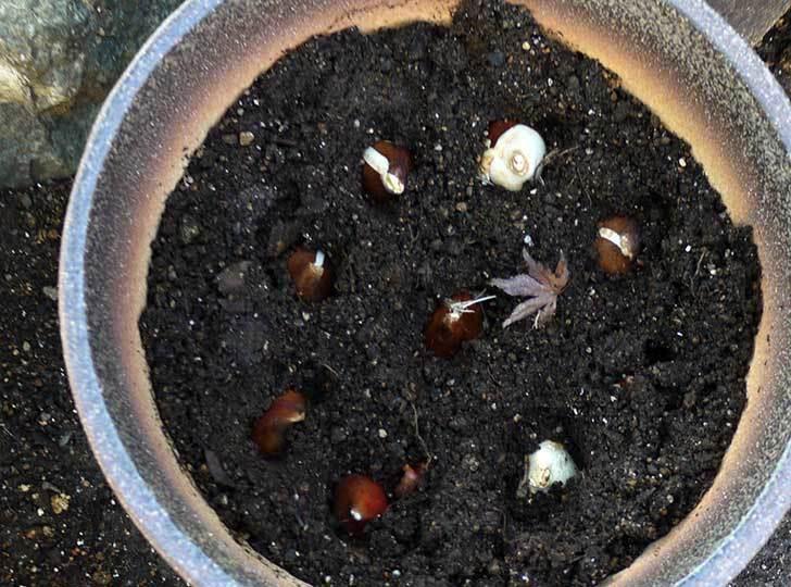 チューリップの球根を植えた5.jpg