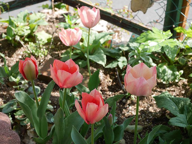 チューリップの花がたくさん咲いた。2020年-12.jpg