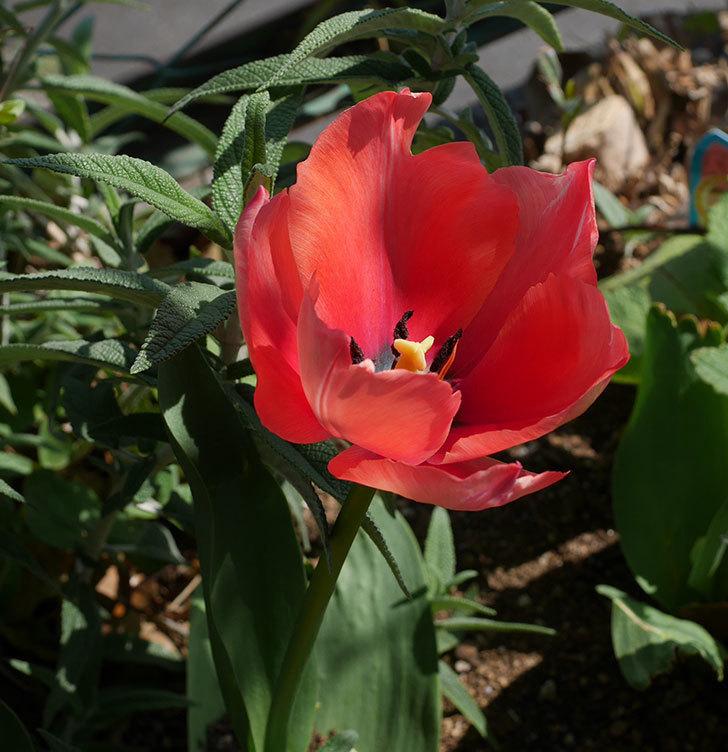 チューリップの花がたくさん咲いた。2020年-14.jpg