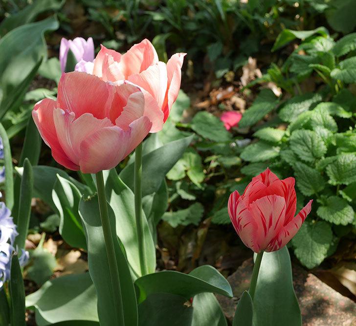 チューリップの花がたくさん咲いた。2020年-2.jpg