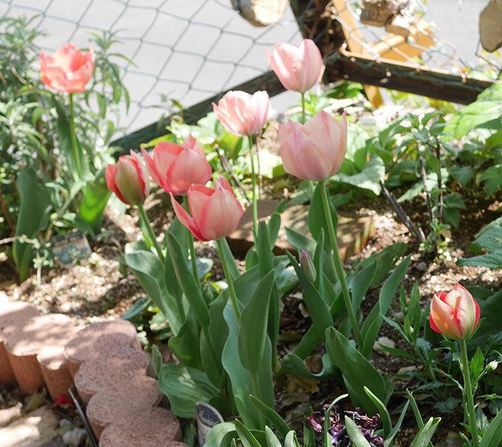 チューリップの花がたくさん咲いた。2020年-8.jpg