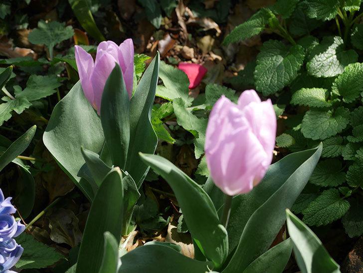 チューリップの花がたくさん咲いた。2020年-9.jpg