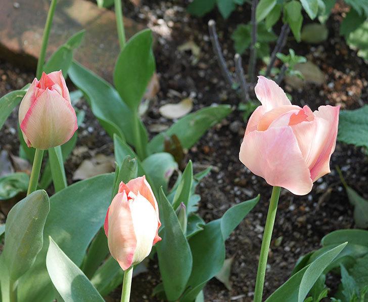 チューリップの花が増えて来た。2020年-2.jpg