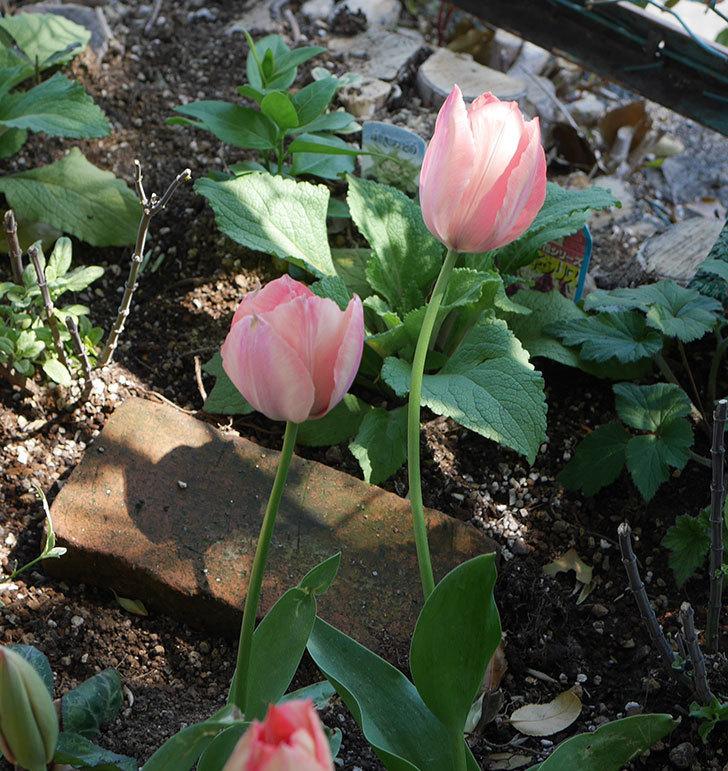 チューリップの花が増えて来た。2020年-3.jpg
